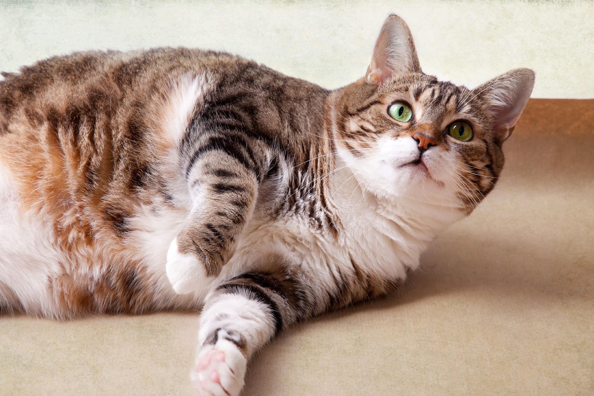 Ületoidetud kass