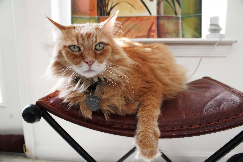 Suhkruhaige kass